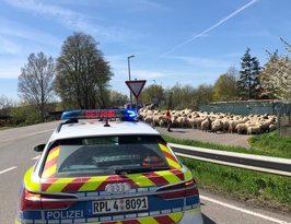 POL-PDKH: Ungewöhnlicher Einsatz für die Polizei Bad Kreuznach – Verkehrsregelung für Schafe